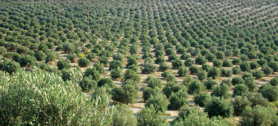 olives_fields